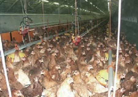 Luftabkühlung für Geflügelstall: Reduktion der Sterblichkeit und Gewichtszunahme