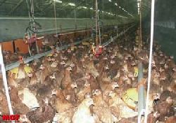 Brumisation en aviculture: mortalité et réduction du poids. Top!!!